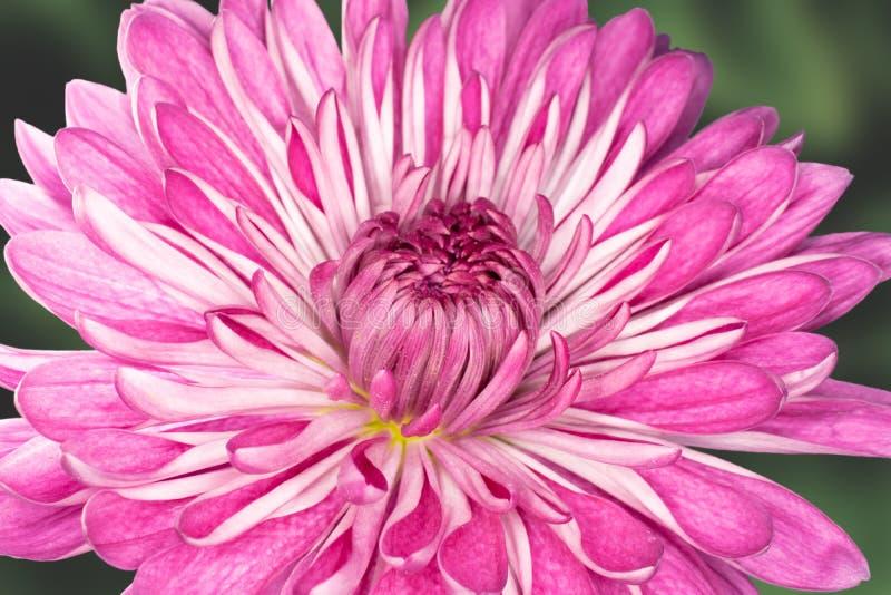 Fiore rosa della mummia contro fogliame verde fotografia stock libera da diritti