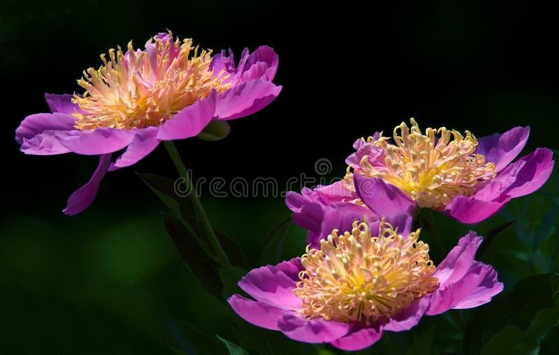 Fiore rosa della peonia fotografia stock libera da diritti