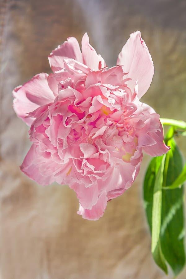 Fiore rosa della peonia al sole fotografia stock libera da diritti