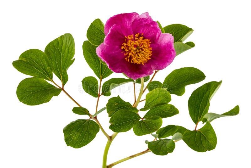 Fiore rosa della peonia, isolato su fondo bianco fotografia stock