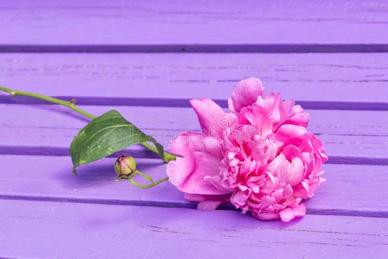 Fiore rosa della peonia su un banco porpora fotografia stock libera da diritti