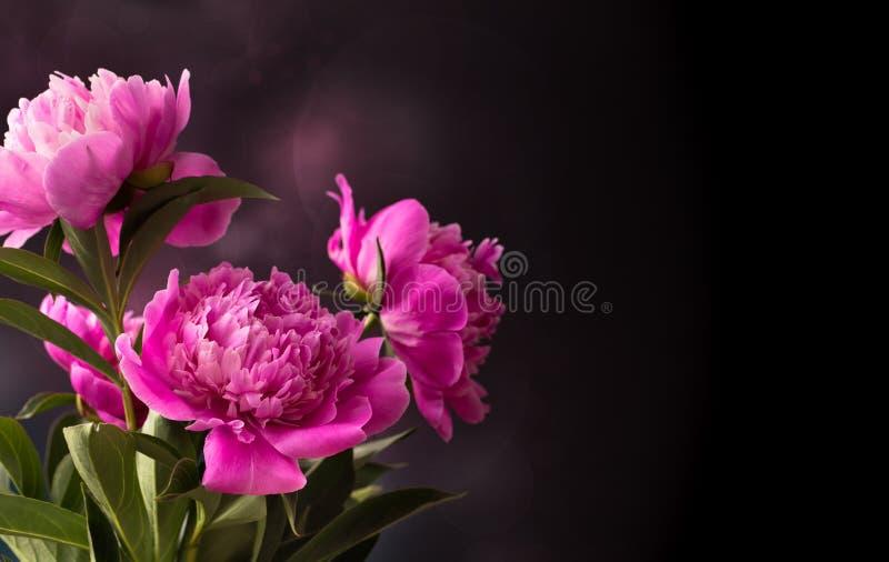 Fiore rosa della peonia tre su fondo scuro fotografia stock
