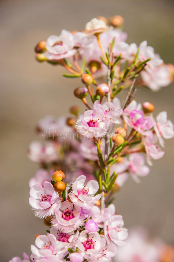 Fiore rosa della piuma del wildflower indigeno di Australia occidentale macro immagini stock