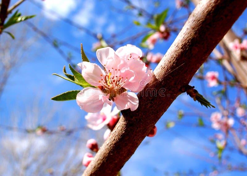 Fiore rosa della sorgente fotografie stock