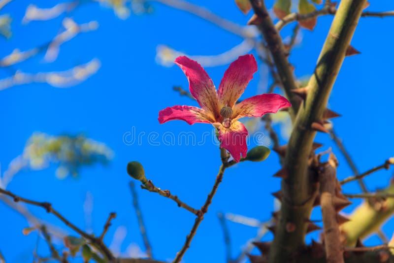Fiore rosa dello speciosa di seta della ceiba dell'albero del filo di seta, precedentemente speciosa di Chorisia fotografia stock