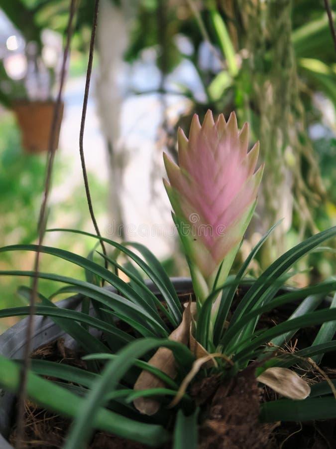 Fiore rosa dello zenzero del cono fotografia stock