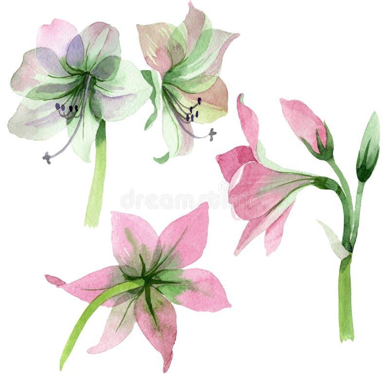 Fiore rosa di amarylis dell'acquerello Fiore botanico floreale Elemento isolato dell'illustrazione illustrazione di stock