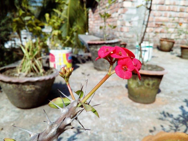 Fiore rosa di fioritura del cactus di colore con sfondo naturale fotografia stock