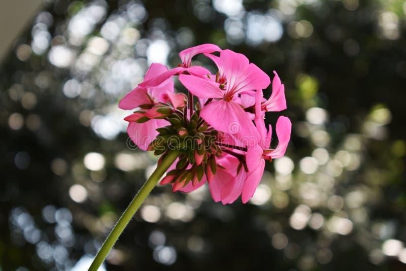 Fiore rosa di fioritura nel giardino con lo spazio della copia fotografie stock libere da diritti