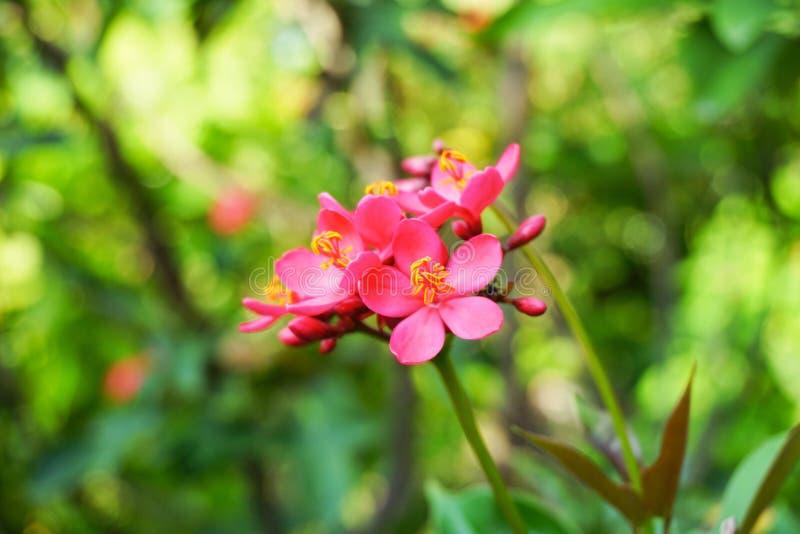 Fiore rosa di integerrima del jatropha nel giardino della natura immagine stock