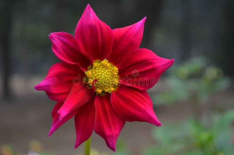 fiore rosa di mattina immagine stock libera da diritti