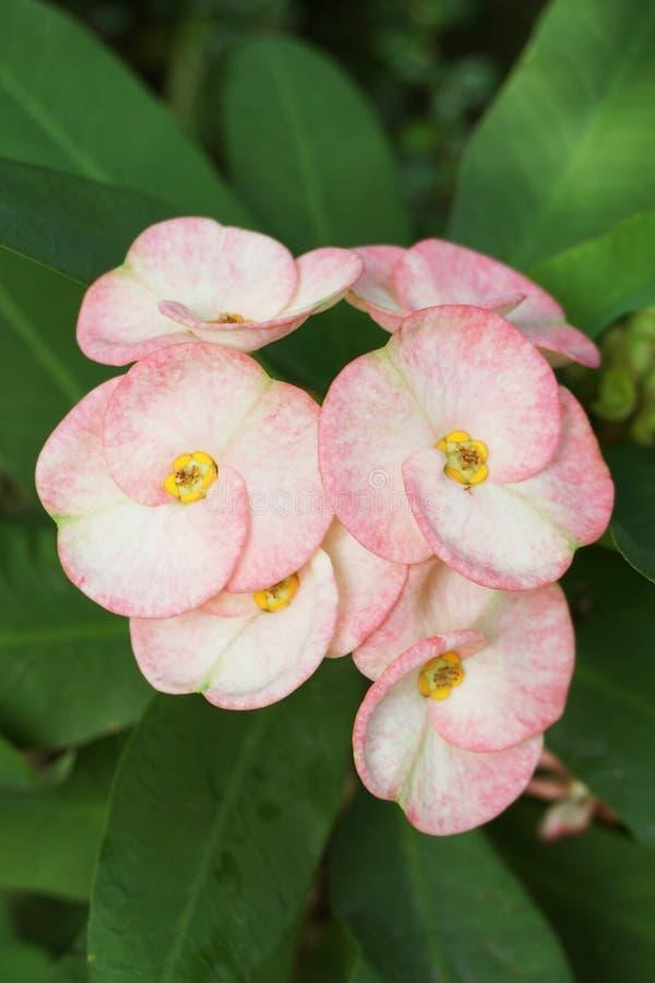 Fiore rosa di milii dell'euforbia nel giardino della natura fotografia stock