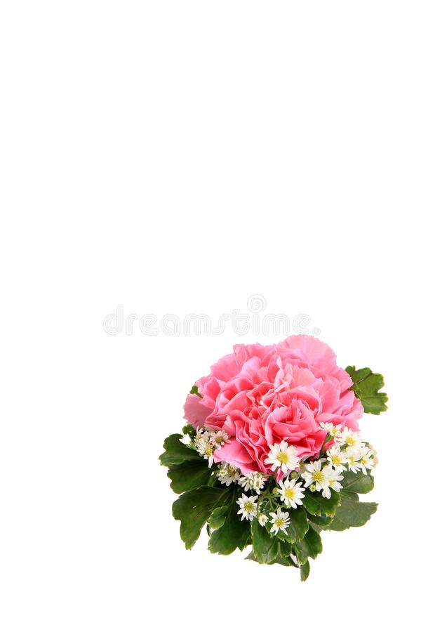 Fiore rosa di nozze del fiore del garofano su fondo bianco fotografie stock