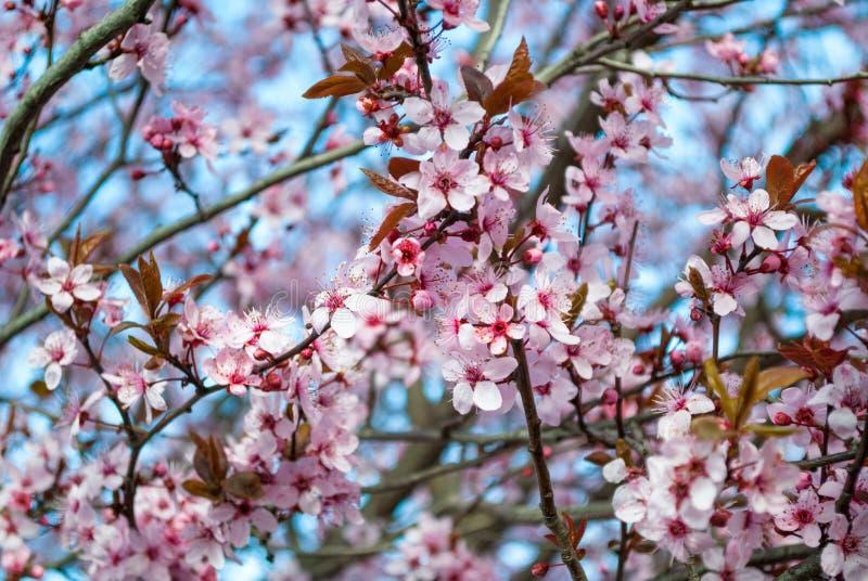 Fiore rosa di sakura, albero del fiore di ciliegia in parco fotografia stock