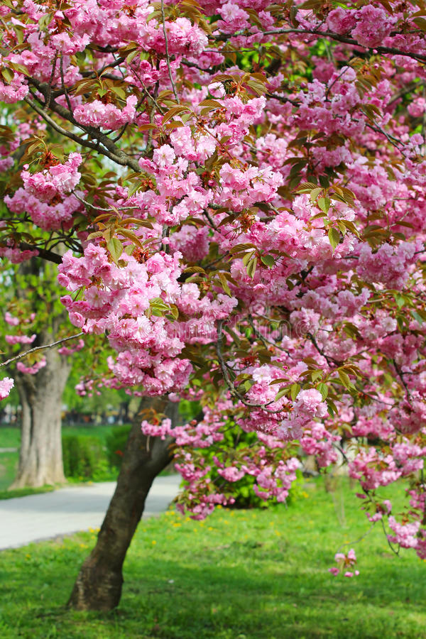 Fiore rosa di sakura in Uzhgorod, Ucraina immagini stock