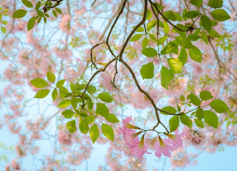 Download Fiore Rosa Di Tabebuia Della Tromba Immagine Stock - Immagine di flora, tromba: 56876117