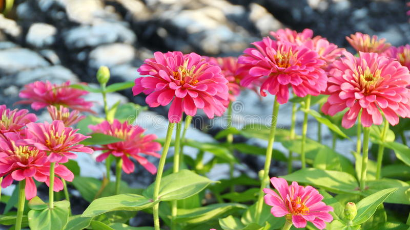 Fiore rosa di zinnia immagine stock