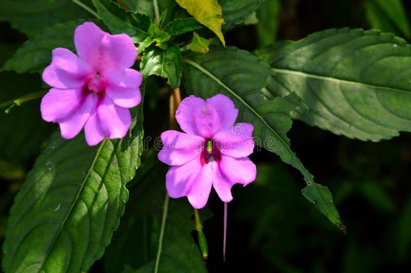 Fiore rosa due nell'ambito della luce solare fotografie stock libere da diritti