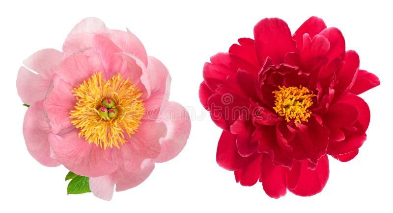 Fiore rosa e rosso della peonia isolato su bianco Testa di fiore immagine stock libera da diritti