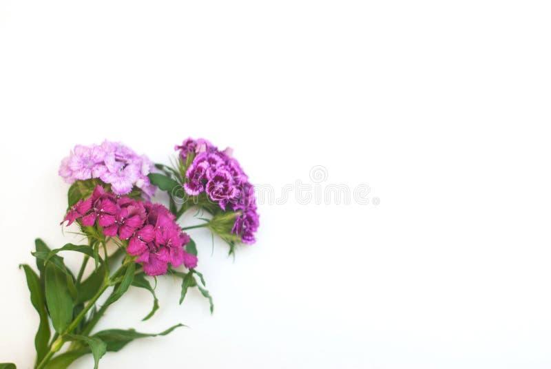 Fiore rosa Isoalted del garofano sul mazzo bianco Carta floristica di Greetin di disposizione immagini stock libere da diritti