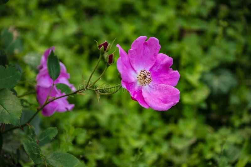 Fiore rosa luminoso di una rosa brillante, Latino: nitida di rosa fotografia stock libera da diritti