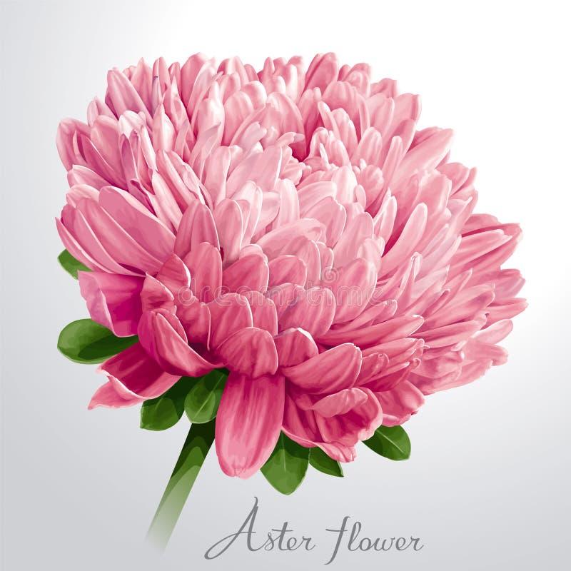 Fiore rosa lussuoso dell'aster illustrazione di stock