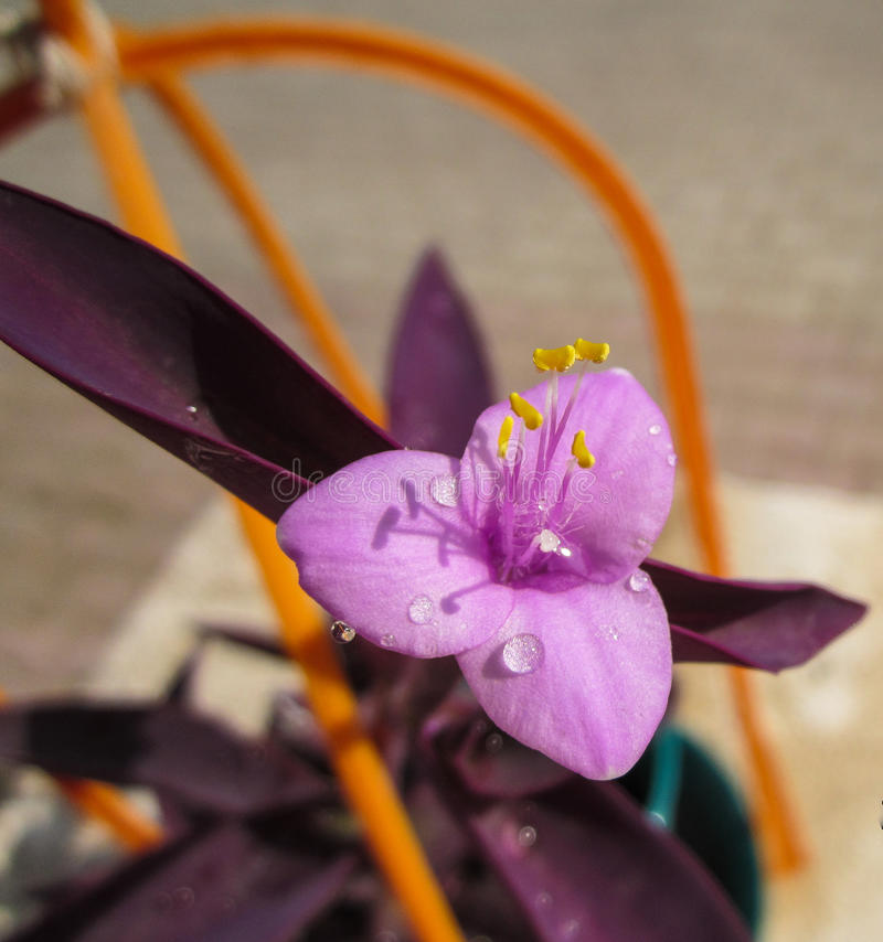 Fiore rosa minuscolo immagine stock libera da diritti