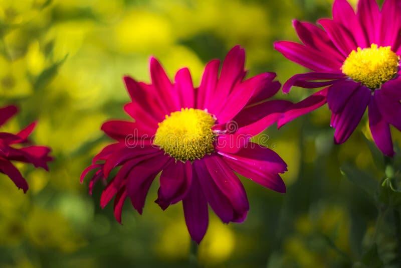 Fiore rosa scuro luminoso dell'echinacea sul fondo variopinto molle del bokeh immagine stock