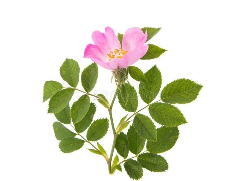 Fiore rosa selvaggio immagini stock