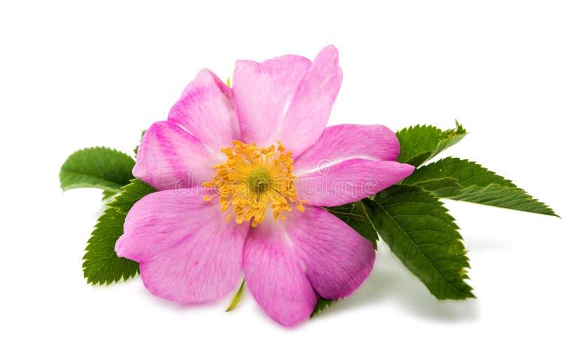 fiore rosa selvaggio isolato immagine stock libera da diritti