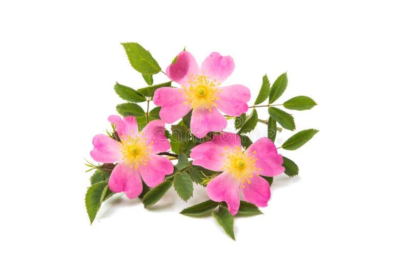 fiore rosa selvaggio isolato fotografie stock
