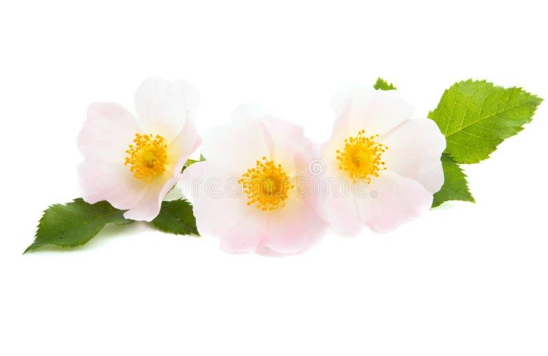 fiore rosa selvaggio isolato immagine stock