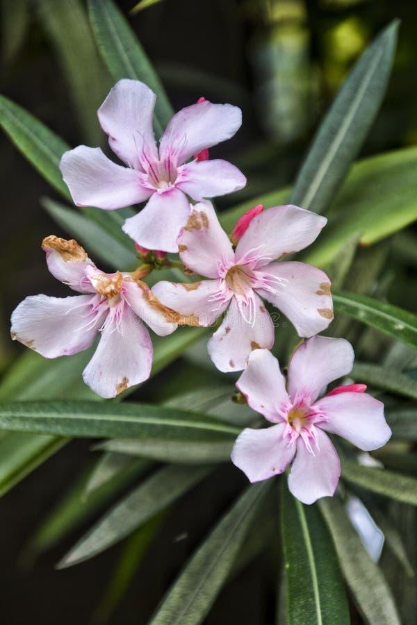 Fiore rosa sottolineato - 8 fotografia stock