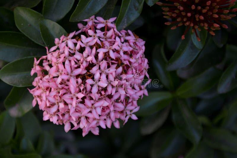 Fiore rosa sottolineato - 22 immagini stock libere da diritti