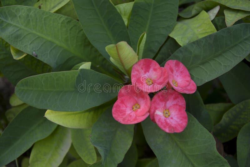 Fiore rosa sottolineato - 23 immagine stock