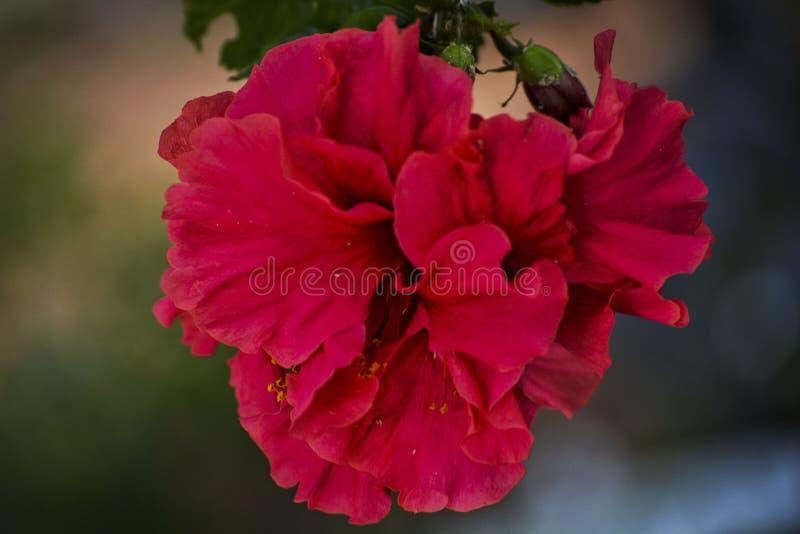 Fiore rosa sottolineato - 5 immagine stock