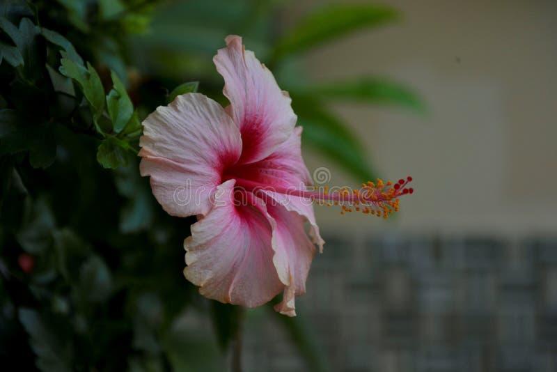 Fiore rosa sottolineato - 16 fotografia stock libera da diritti