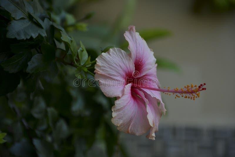 Fiore rosa sottolineato - 17 immagini stock libere da diritti