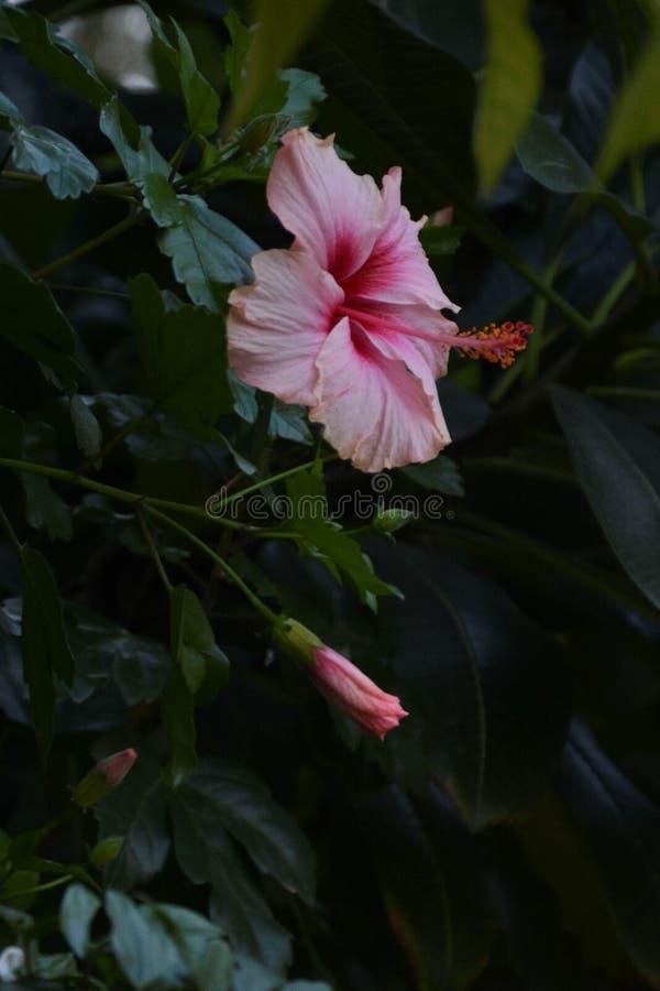 Fiore rosa sottolineato - 13 fotografie stock