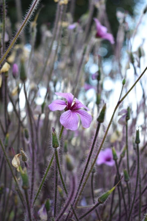 Fiore rosa stagionale nel giardino fotografia stock libera da diritti
