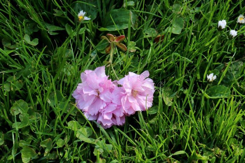Fiore rosa su erba Caduto da un ciliegio di fioritura fotografie stock libere da diritti