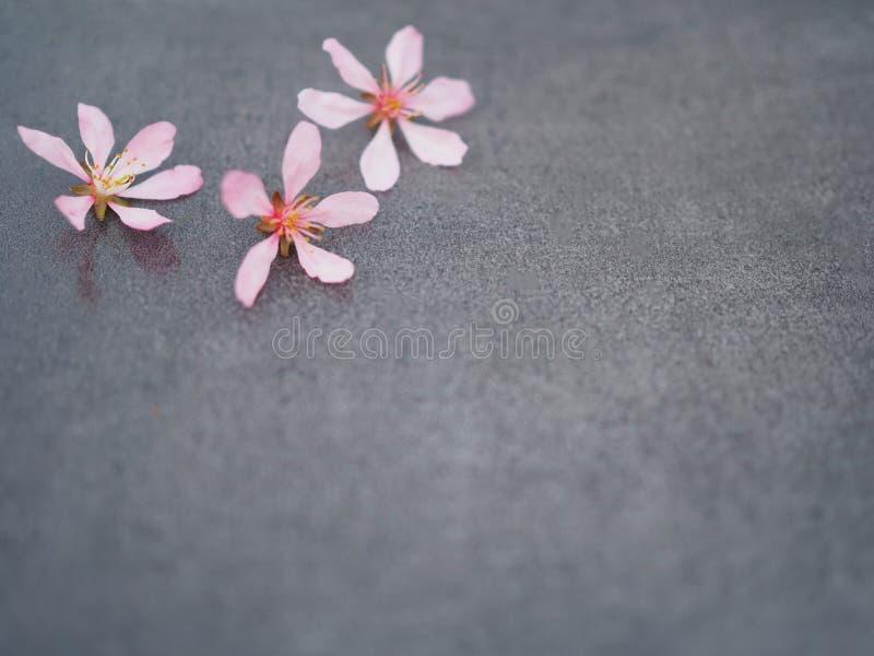 Fiore rosa su un primo piano grigio del fondo fotografia stock