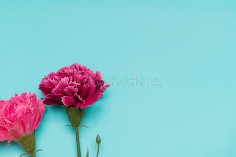 Fiore rosa sugli ambiti di provenienza blu, concetto del garofano di stagione primaverile fotografia stock libera da diritti