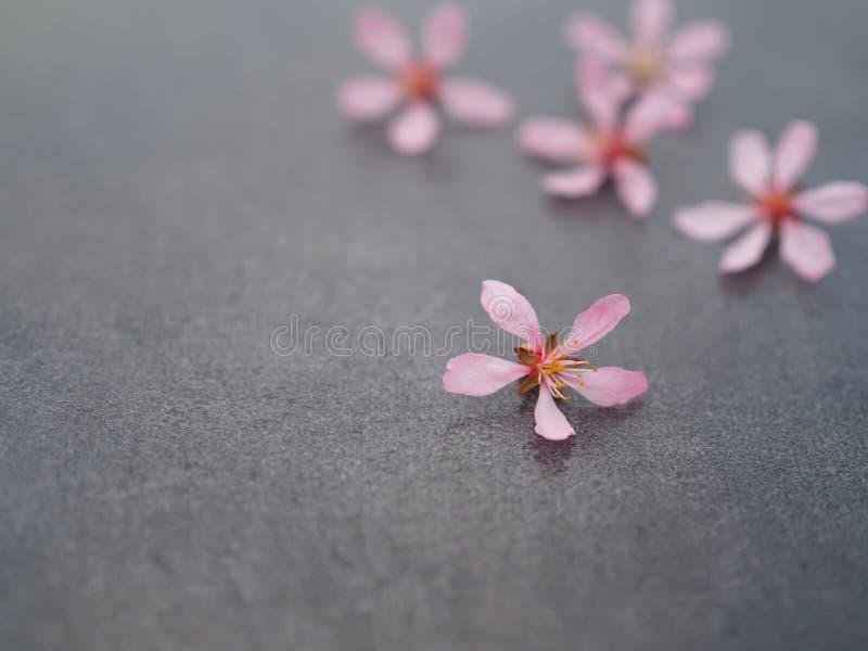 Fiore rosa sul primo piano grigio del fondo fotografie stock