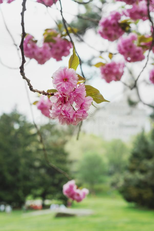 Fiore rosa sull'albero in Central Park fotografia stock libera da diritti