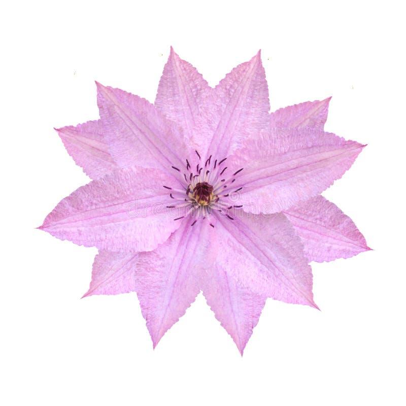 Fiore rosa tenero della clematide isolato su fondo bianco immagini stock libere da diritti