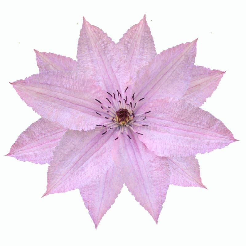 Fiore rosa tenero della clematide isolato su fondo bianco fotografia stock libera da diritti