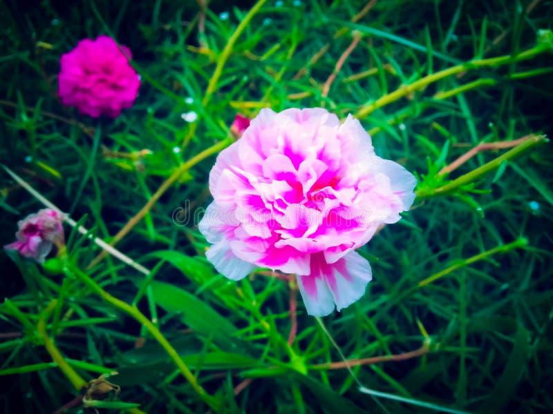 Fiore rosato fotografie stock libere da diritti
