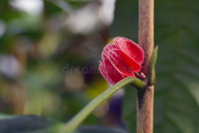 """Fiore rosso """"di una pianta della malva del gancio di Malvacea Goethea Strictiflora """"nell'asta completa fotografie stock libere da diritti"""