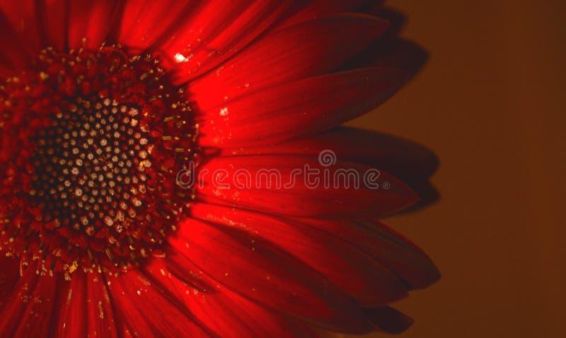 Fiore rosso fotografie stock libere da diritti